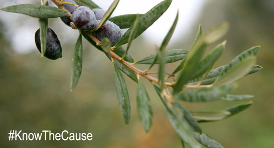 antifungal-olive-leaf-extract