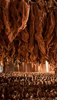 tabacco-farm-drying