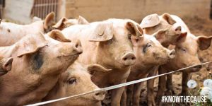 mycotoxins-and-pigs